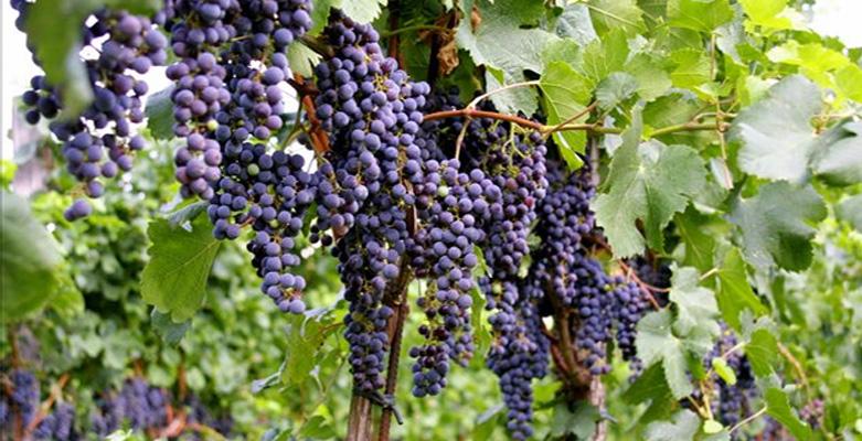 Zaščita vinogradnikov pred izpostavljenostjo ogljikovega dioksida CO2